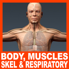 Human Male Body, Muscular, Respiratory System and Skeleton - Anatomy 3D Model