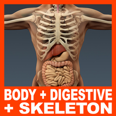 Human Male Body, Digestive System and Skeleton - Anatomy 3D Model