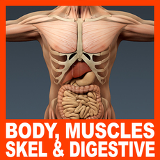 Human Male Body, Muscular, Digestive System and Skeleton - Anatomy 3D Model
