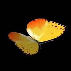 butterfly Phoebis philea 3D Model