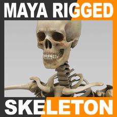 Human Skeleton Maya Rigged 3D Model