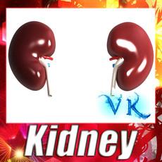 3D Model Human Kidneys High Detail 3D Model
