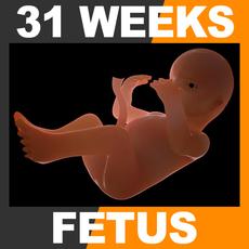 Human Fetus 31 Weeks 3D Model