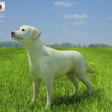 Domestic Dog Labrador Retriever 3D Model