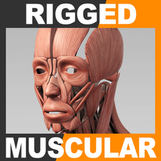 Rigged Human Muscular System 3D Model