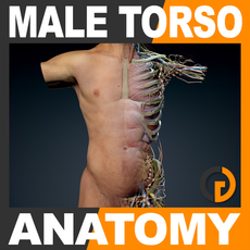 Human Male Torso Anatomy 3D Model
