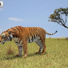 Tiger (Panthera Tigris) 3D Model