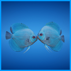 Blue Discus Fish 3D Model