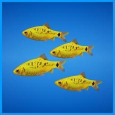 Golden Barb Fish 3D Model