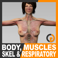 Human Female Body, Muscular, Respiratory System and Skeleton - Anatomy 3D Model