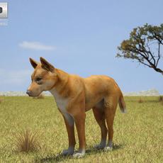 Dingo (Canis Lupus Dingo) 3D Model
