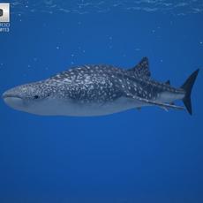 Whale Shark (Rhincodon Typus) 3D Model