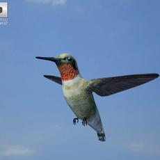 Bee Hummingbird (Mellisuga Helenae) 3D Model