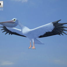 American White Pelican (Pelecanus Erythrorhynchos) 3D Model