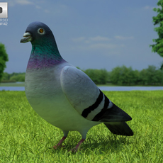 Rock Dove (Columba Livia) 3D Model