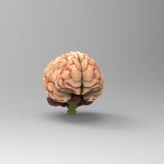Brain_Textured_Free 3D Model