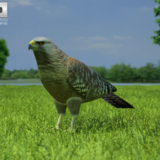 Red-Shouldered Hawk (Buteo Lineatus) 3D Model
