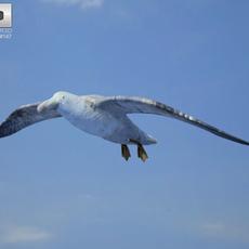 Southern Giant Petrel (Macronectes Giganteus) 3D Model