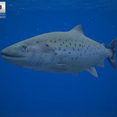 Atlantic Salmon 3D Model