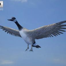 Canada Goose 3D Model