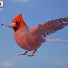 Northern Cardinal 3D Model