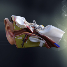 Human Ear Anatomy 3D Model