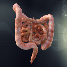 Human Small and Large Intestines Anatomy 3D Model