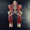 Human Pelvis Muscle  Bone Anatomy 3D Model