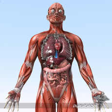 Human Male Anatomy 3D Model