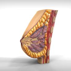 Female Breast Anatomy 3D Model