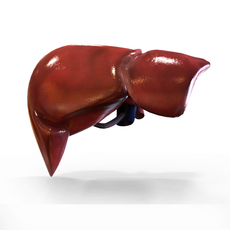 Human Liver 3D Model