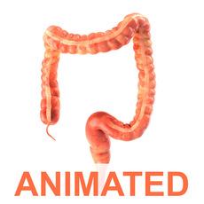 Human colon. Animated 3D Model