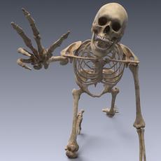 Human skeleton rigged 3D Model