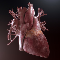 Human Heart High Quality 3D Model
