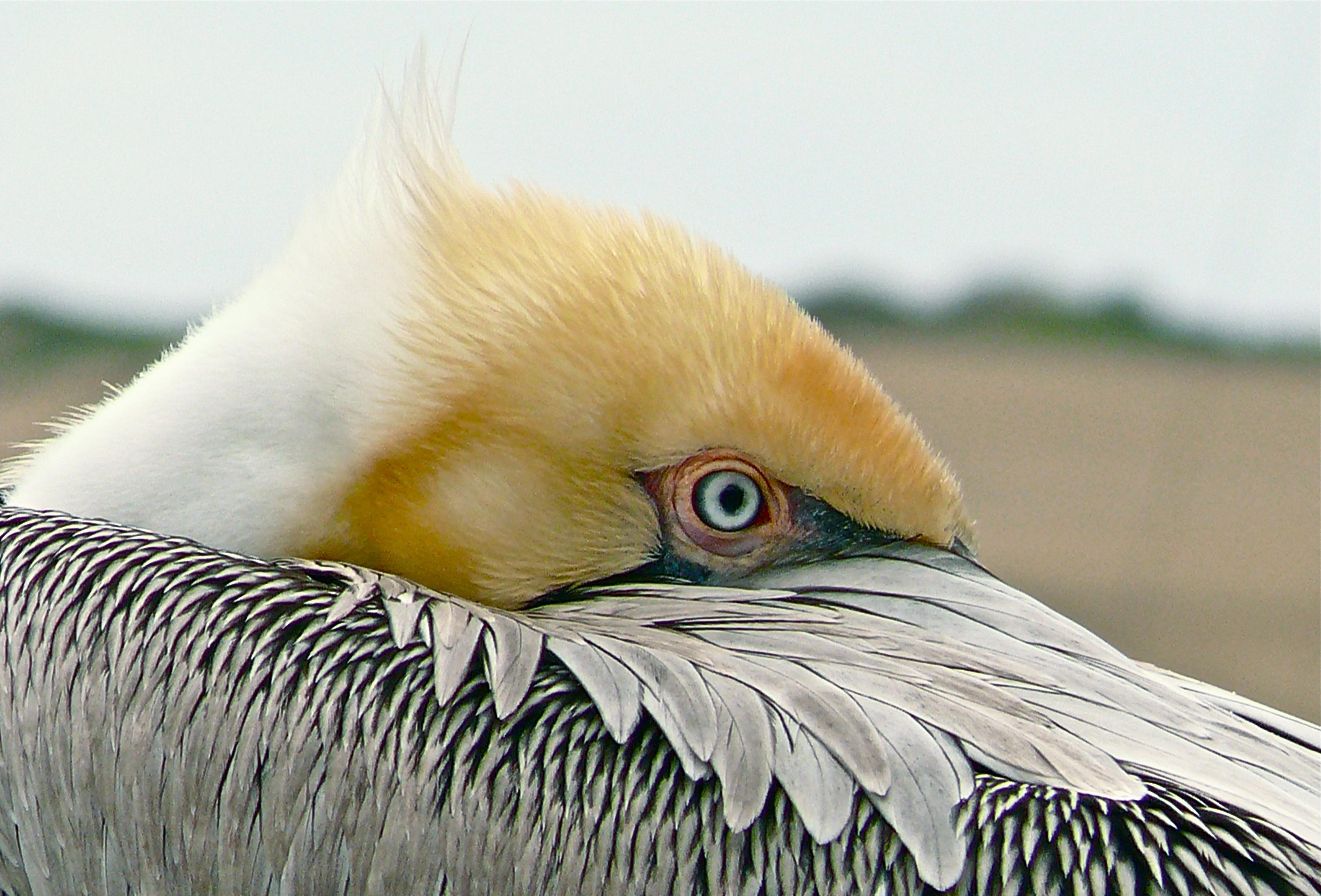 Brown Pelican - Linda Tanner