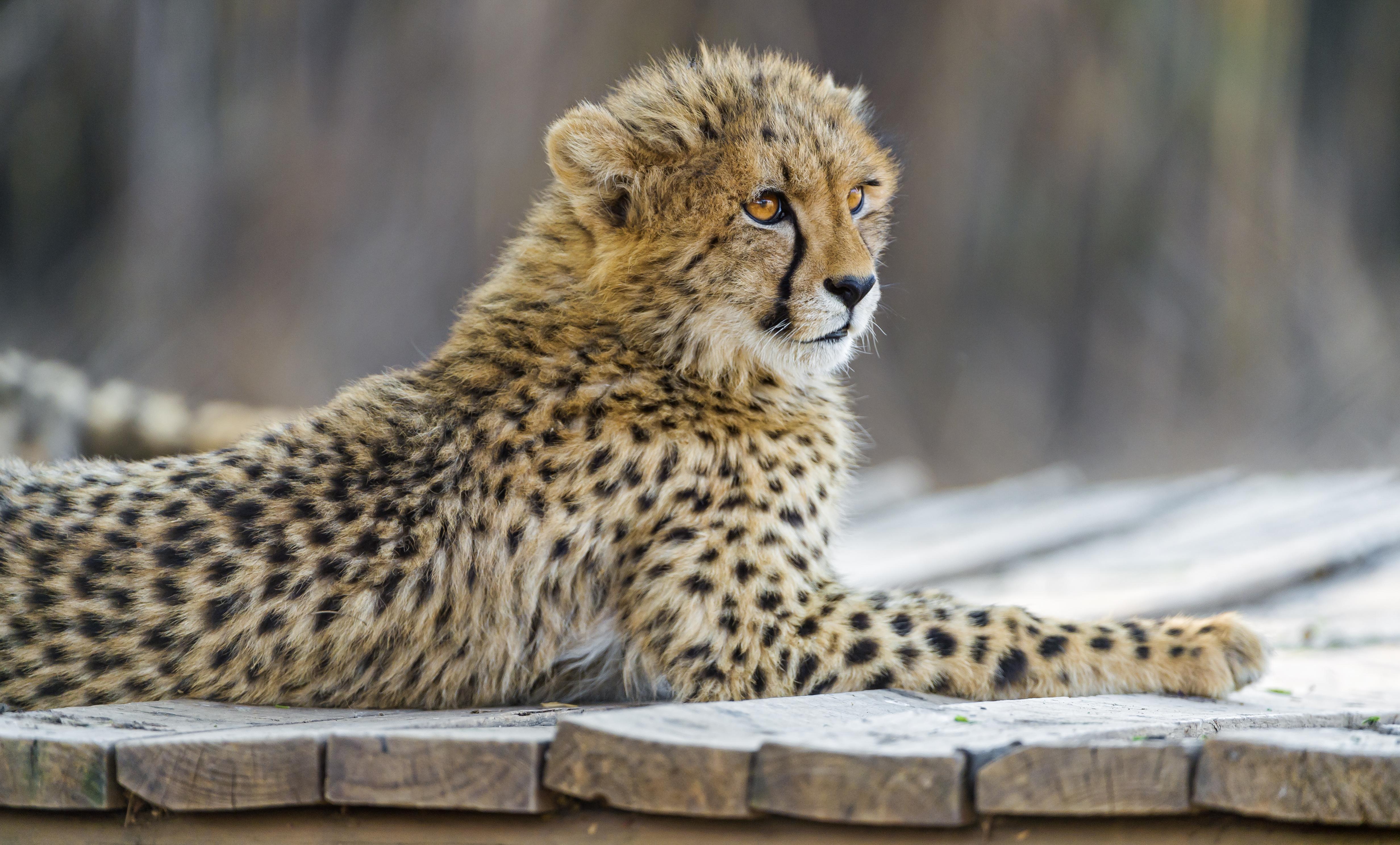 Cheetah Cub on the Platform - Tambako The Jaguar