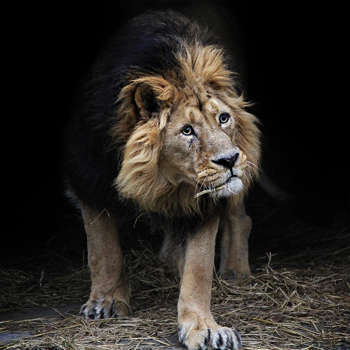 The Lion 'King' - Jinterwas
