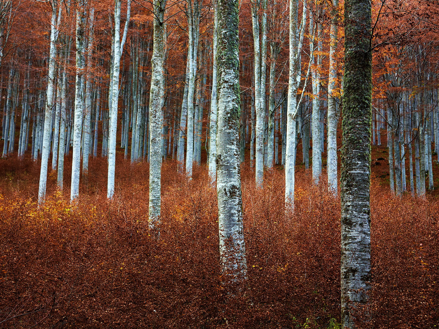 Beech Wood IV - Rachel_Thecat
