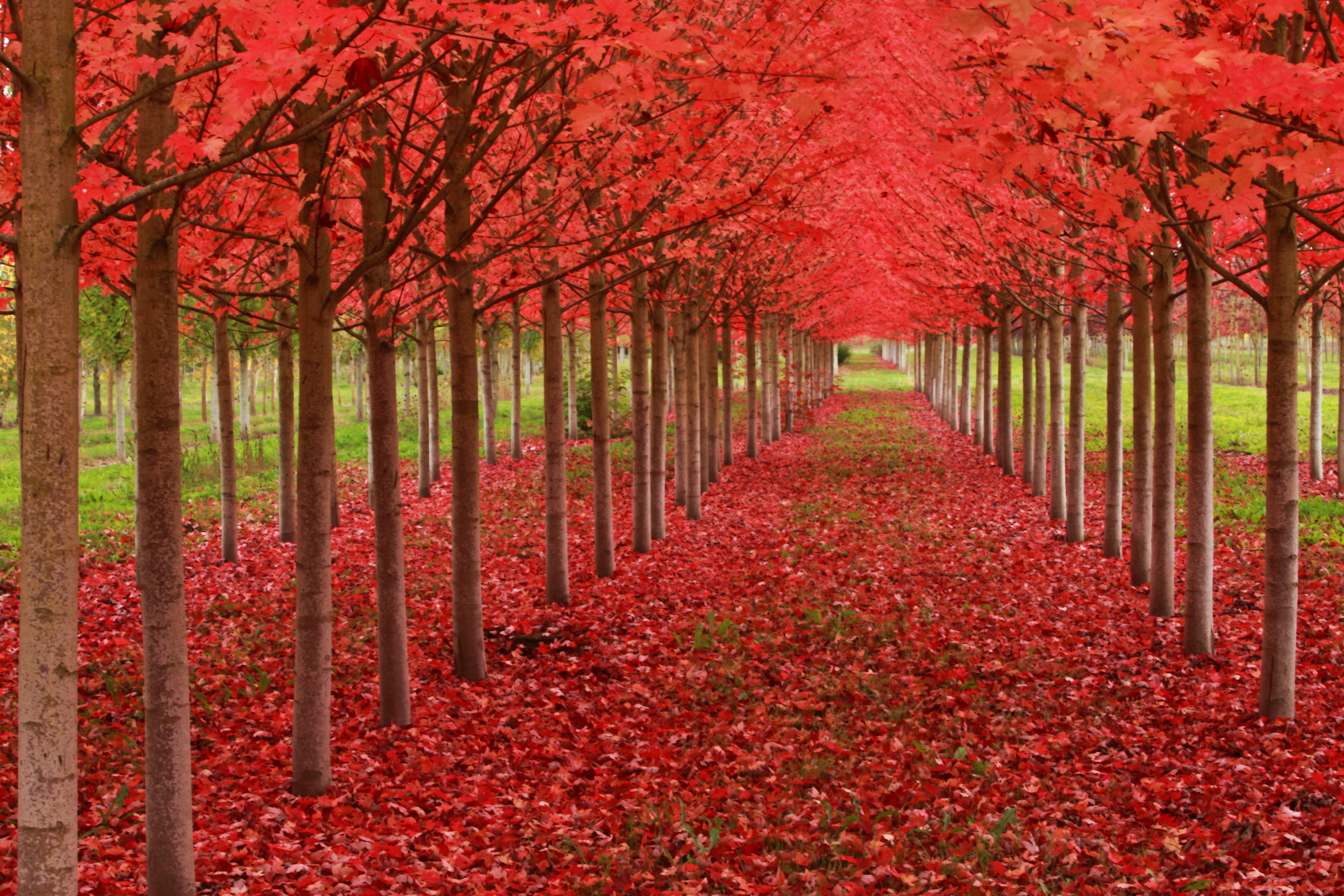 Red leave trees with the title Under a Blood Red Sky