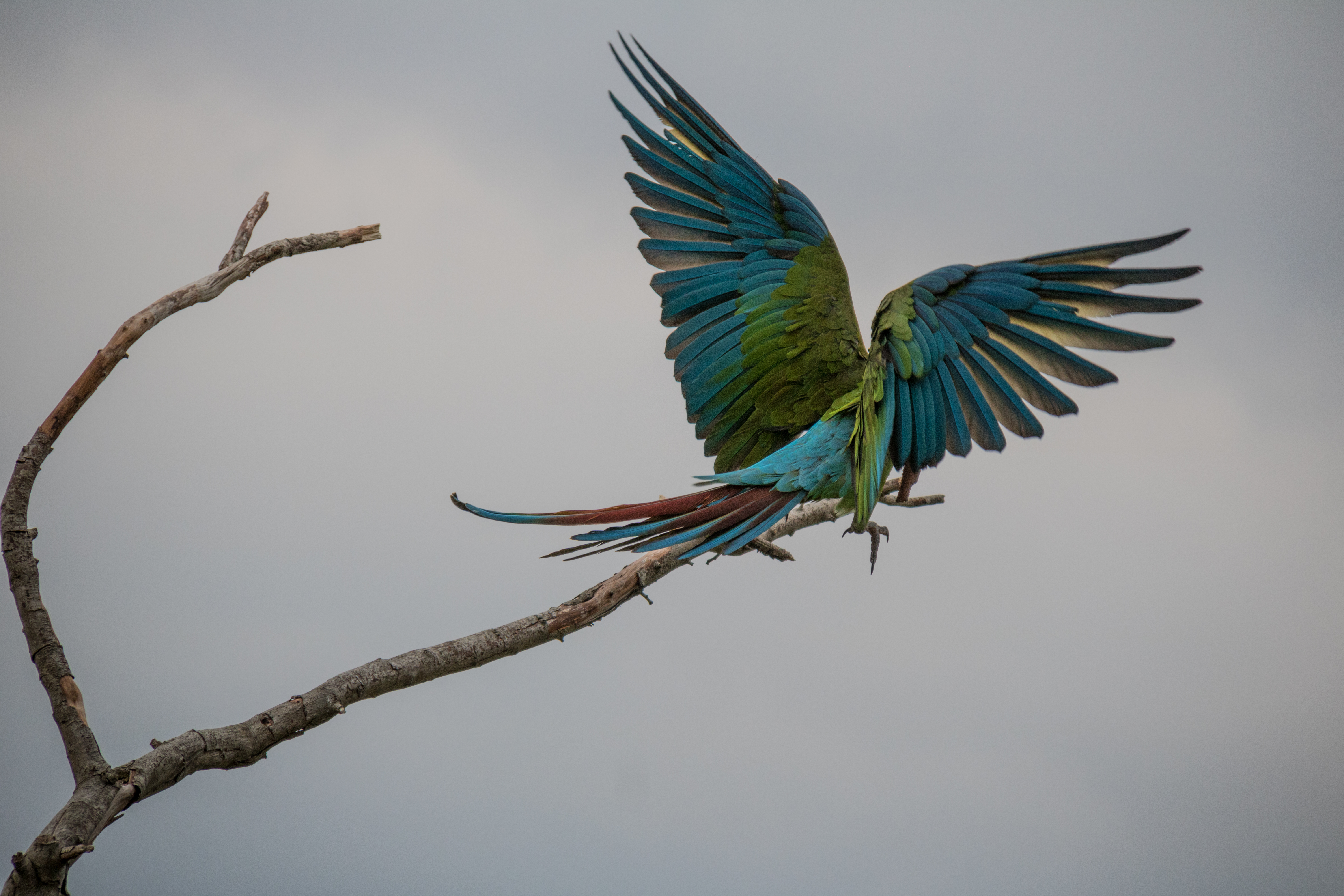 Great green macaw on a branch