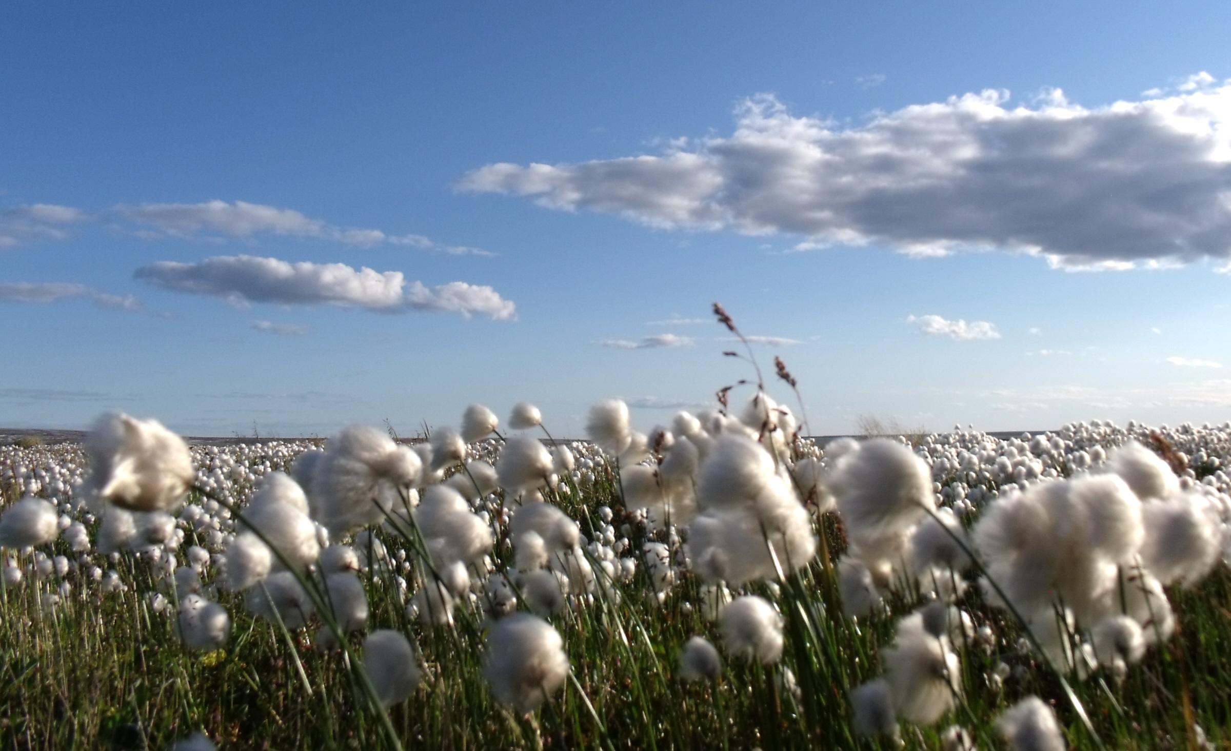 Sea of Cotton - Mike Beauregard