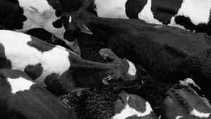 Larry Bird, Cattle Auction, Canterbury, NZ