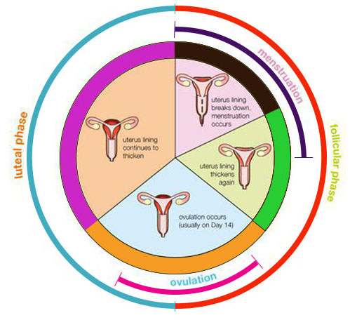 Ovulation and Safe Period: What is the Safe Period to Have Sex