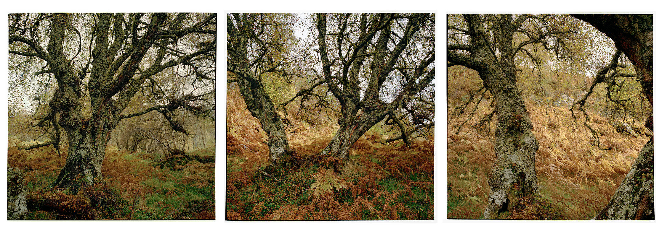 Scottish Highlands, 2016             Old Birch, Glen Affric (triptych)