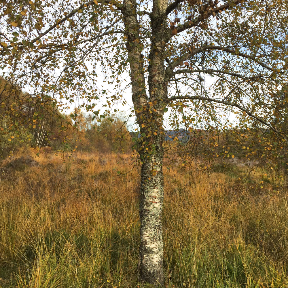 Scottish Highlands, 2016           Young Birch, Glen Affric