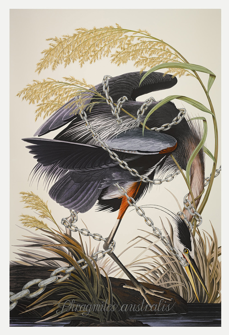 PENELOPE GOTTLIEB Invasive Species Acrylic and ink over John James Audubon digital print