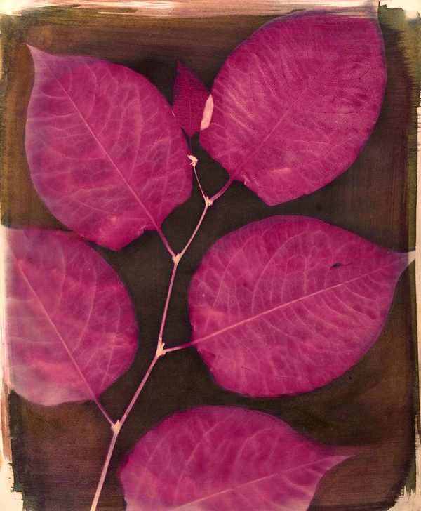 SUSAN HUBER Plants Have Lives Too Cyanotype on watercolour paper