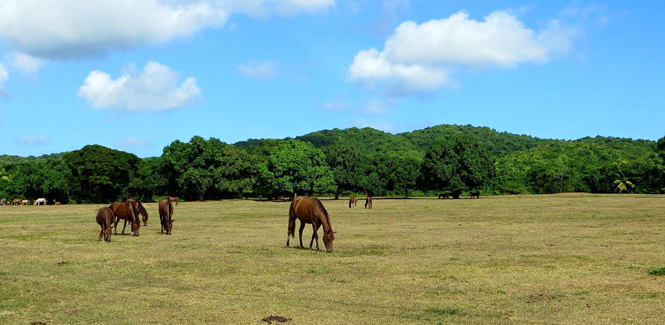 More of the many wild horses that you can find roaming around the island of Vieques