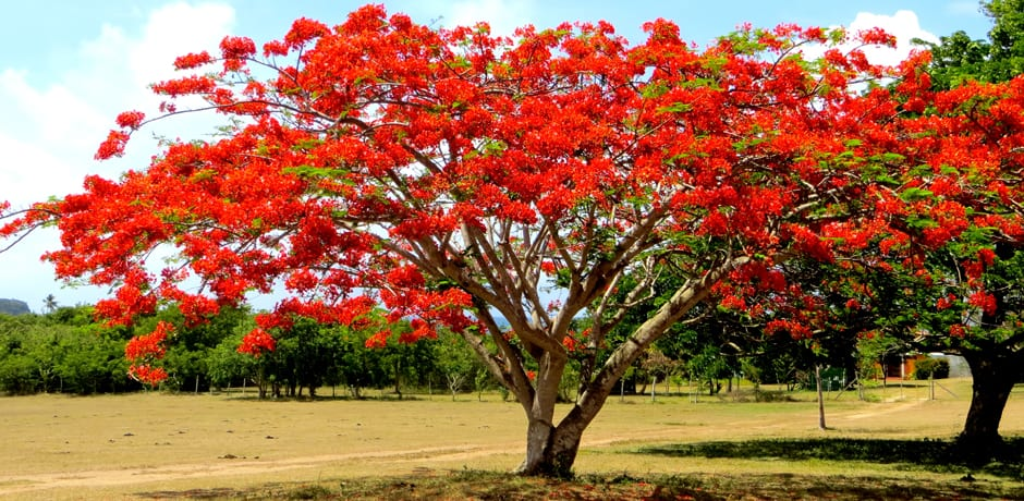 The Royal Poinciana, or Flamboyant Tree, can be found all over Puerto Rico and is a local favorite for its bright red, yellow, or orange blooms in the summer months