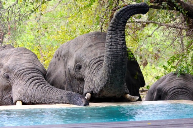 While lounging at our suite at Royal Malewane, a herd of elephants lumbered up to drink from our plunge pool.